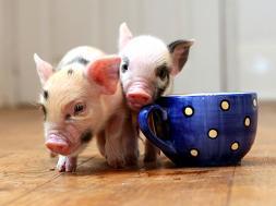 teacup_pigs